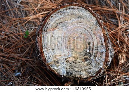 right tree stump age rings mama humps cutting