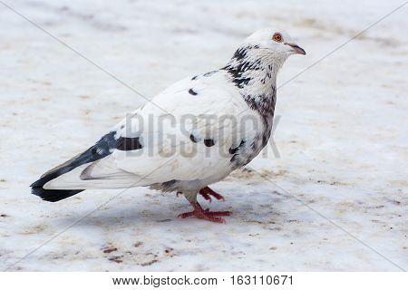 White dove. Motley dove on the snow.