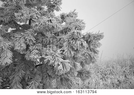 Crimean pine. Covered with a thin layer of snow. Gloomy winter day