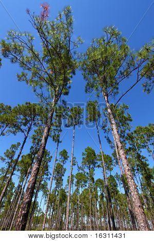 Pine Flatwoods
