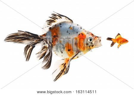 Goldfish big fish hunting for small fish on a white background