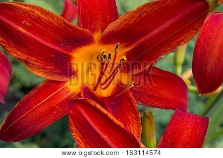 Hemerocallis. In the garden. Red flower close-up.