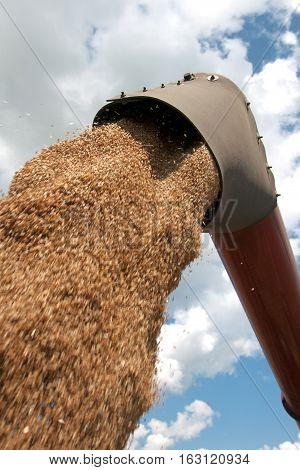 Combine harvester load wheat in the truck at the time of harvest in a sunny summer day