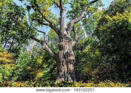 Oak-tree Maxim Zalizniak. In the autumn garden.