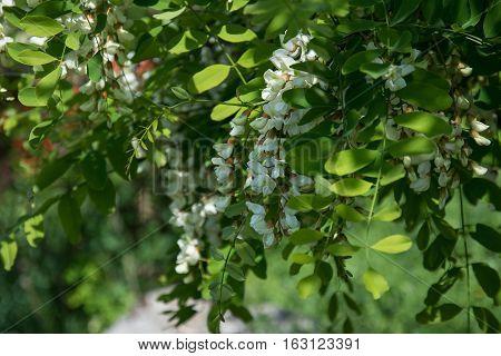 Acacia. Acacia flowers. In the spring garden.