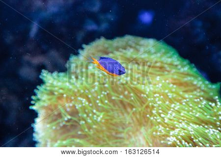 Azure damselfish Chrysiptera hemicyanea on a coral reef.