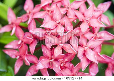 water drop on the pink ixora flower