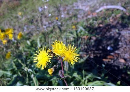 Yellow flowers of the field sow thistle (Sonchus arvensis), also called corn sow thistle, dindle,gutweed, swine thistle, tree sow thistle, and field milk thistle, bloom in Joliet, Illinois during November
