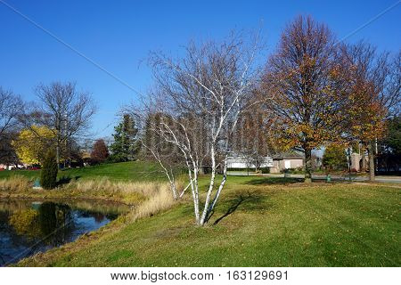 A gray birch tree (Betula populifolia), next to a small man-made lake in Joliet, Illinois, during November
