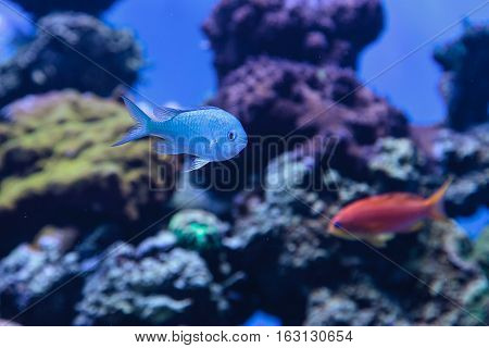 Blue Green chomis fish, Chromis viridis, has a pale green color and is found on the reef