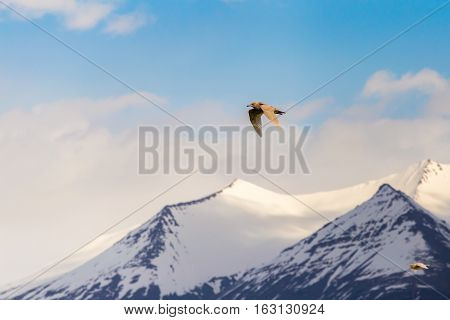 Seagull in flight with wings spread flying high above snow-capped mountain summits with cloudy blue sky background