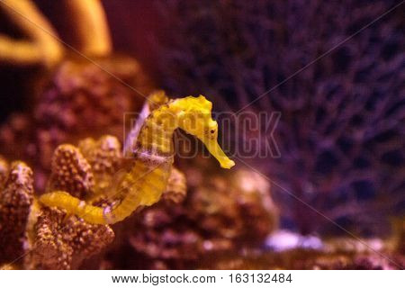 Lined seahorse Hippocampus erectus clings to a strand of seaweed.