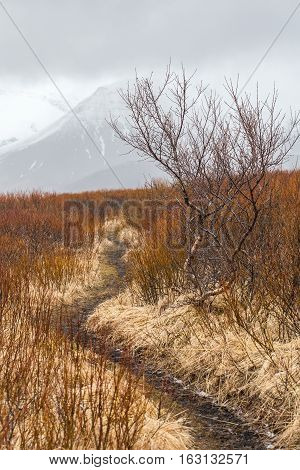 Hiking trail between Svartifoss and Morsardalur winding through shrub fields in Skaftafell National Park with snowcapped mountain peaks in background