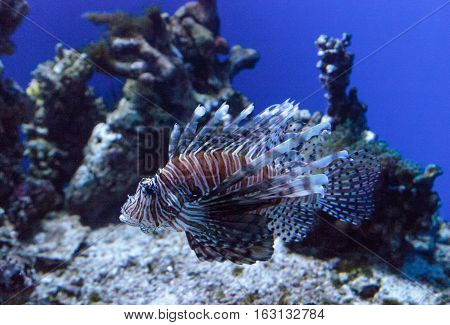 Lionfish Pterois volitans swims on a coral reef.