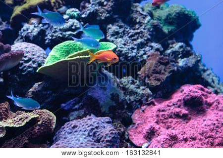 Lyretail Anthias fish known as Pseudanthias squamipinnis in the middle of blue green Chromis fish in a coral reef.