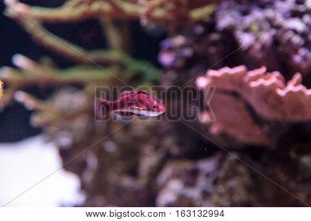 Dark red Cirrhilabrus sailfin fairy wrasse found in the Philippines on a coral reef
