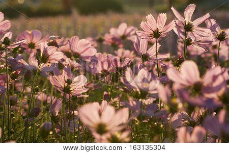 Pink Cosmos flower bed in the garden