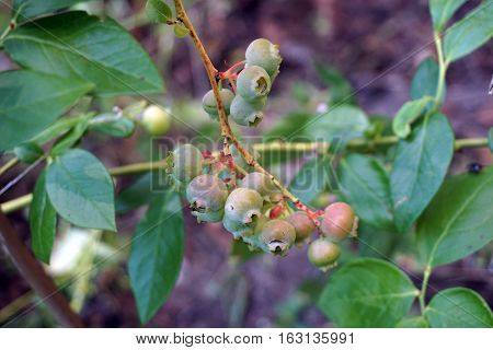 Blueberries ripen on a blueberry bush (Vaccinium corymbosum) in a garden in Harbor Springs, Michigan during August.