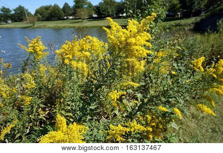 A goldenrod soldier beetle (Chauliognathus, pensylvanicus) and a fly climb on the inflorescence of a Canada goldenrod (Solidago canadensis) next to a small lake in Joliet, Illinois during September.