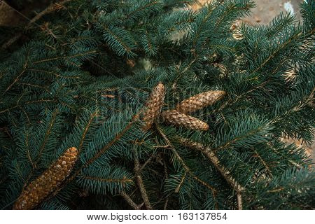 Four cones growing on green spruce branches