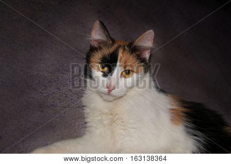 Calico cat lying on grey carpet room