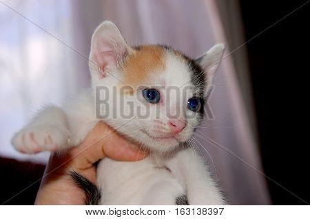 Blue eyed calico kitten hanging on human arm