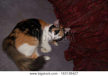 Calico cat lying on grey carpet near maroon curtain