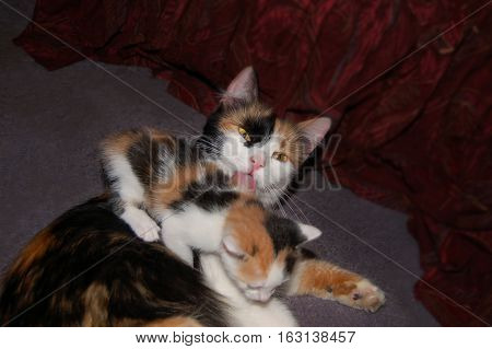Calico cat licking her kitten on grey carpet