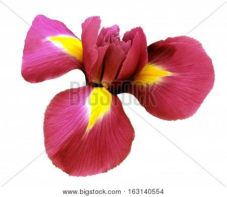 iris red flower. white isolated background with clipping path. Closeup no shadows. Nature.
