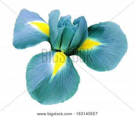 iris turquoise flower. white isolated background with clipping path. Closeup no shadows. Nature.