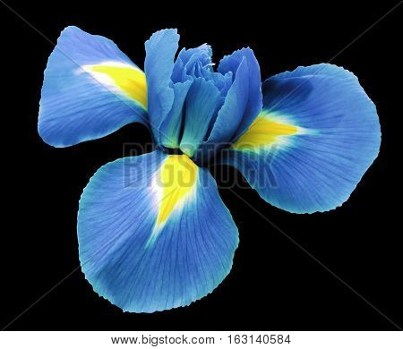 iris light blue flower. black isolated background with clipping path. Closeup no shadows. Nature.