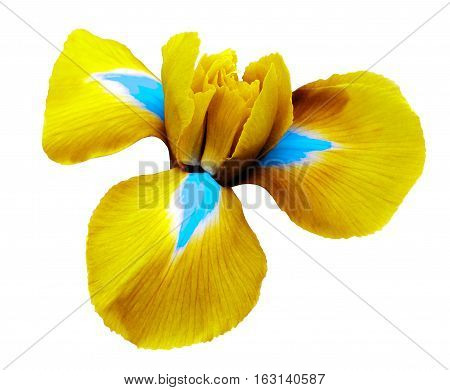 iris yellow flower. white isolated background with clipping path. Closeup no shadows. Nature.