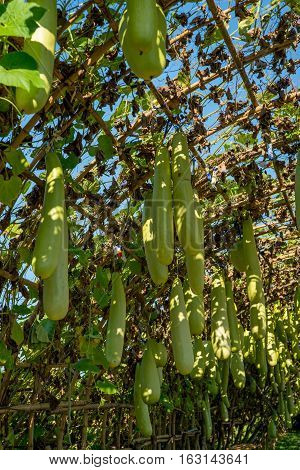 Multiple long gourds also known as calabash growing under a wooden frame arch. Agriculture and Asian fruits concept.
