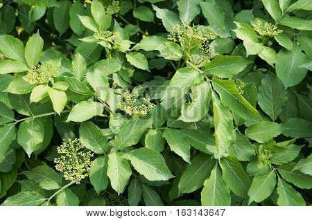 Elderberry shrub with green leaves and tight buds in inflorescences