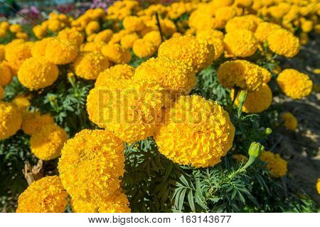 Close-up low angle view of a field of marigolds (Tagetes spp.) in a garden on a sunny day. Nature and gardening concept.