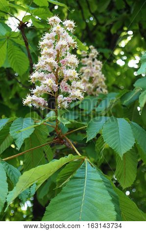 Inflorescence chestnut with white pink flowers on a branch with green leaves