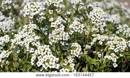 The inflorescences of small flowers with white petals on the grass field with green leaves
