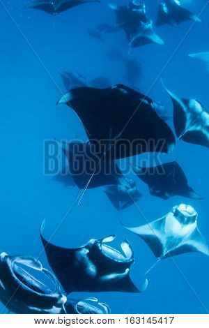 Horde of manta came to Hanifaru bay