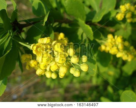 Barberry inflorescence of small flowers with yellow petals on a branch with green leaves