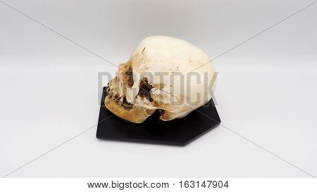 Real Human Skull Head.
