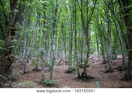 Mysterious trees in the forest on Chatyr-Dag mountain in Crimea.