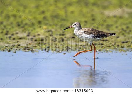 Common redshank  in Kalpitiya, Sri Lanka ; Common redshank  in Kalpitiya, Sri Lanka ; specie Tringa totanus family of Scolopacidae