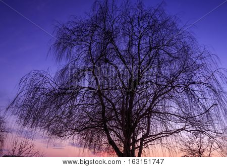 silhouette of tree weeping willow after sunset