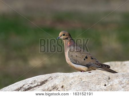 Mourning Dove showing iridescent feathers in the sunlight