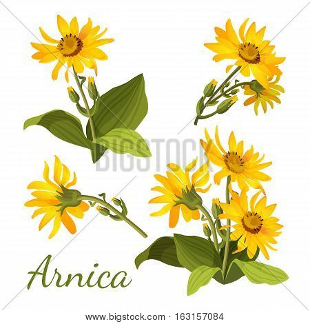 Arnica floral composition. Set of flowers with leaves, buds and branches. Vector illustration for use in web design, print or o visual areas. Sunflower family yellow botany medical aromatherapy element
