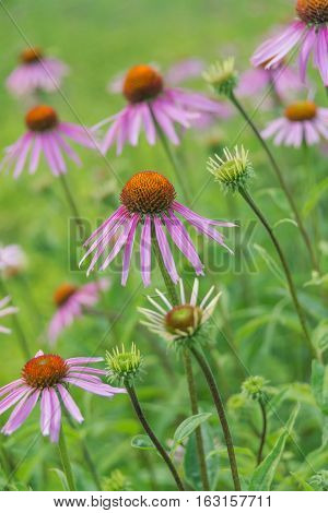 Large plantation of medicinal plants and honey plant Echinacea Purpurea outdoors