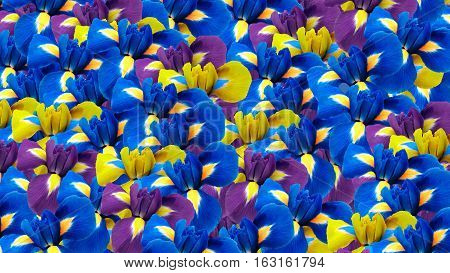 Irises flowers. Garden flowers. Floral background. For design for background. Nature.