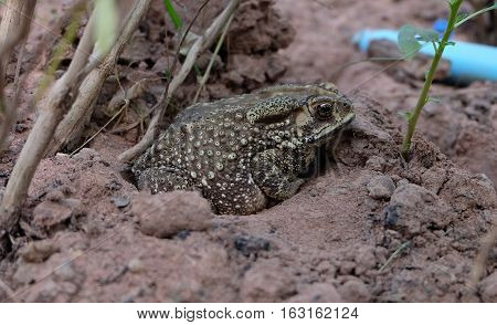 Toad on the ground, sand, peaceful, natural animal in the country.