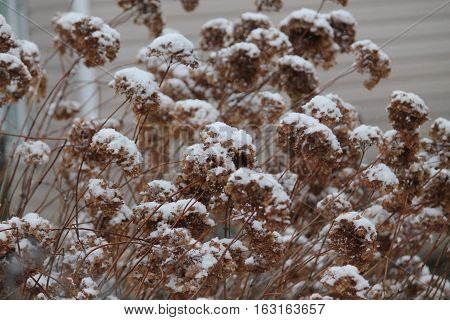 beautiful dry brawn inflorescence of garden hortensia flowers under shine snow