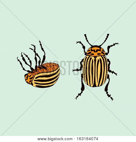 Vector Colorado potato beetle (leptinotarsa decemlineata) Vector bug